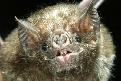 Vampire bats do millions of dollars of damage to the cattle industry in Central America.
