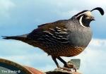 quail TimBentz